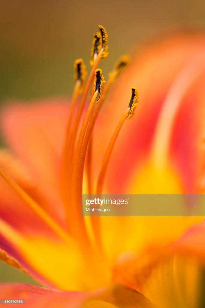 Close up of an orange lily flower.