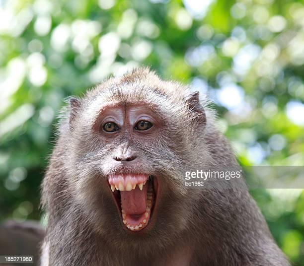 Primo piano di una scimmia arrabbiato