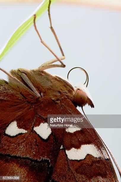 Close up of Autumn Leaf Butterfly (Doleschallia bisaltide)