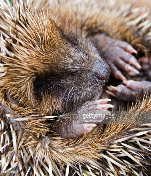 Close up of baby hedgehog curled into a ball