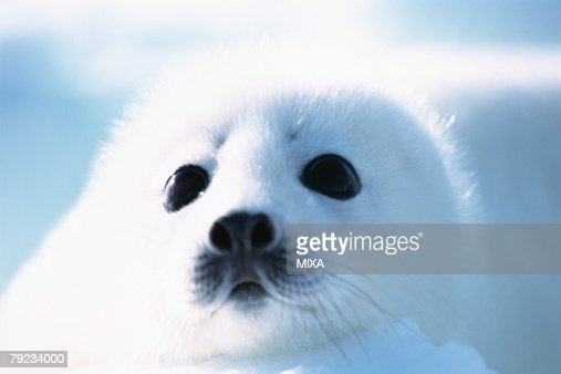 Close up of baby seal : Stock Photo