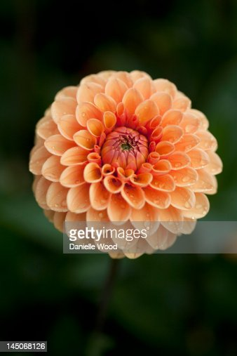 Close up of ball dahlia flower