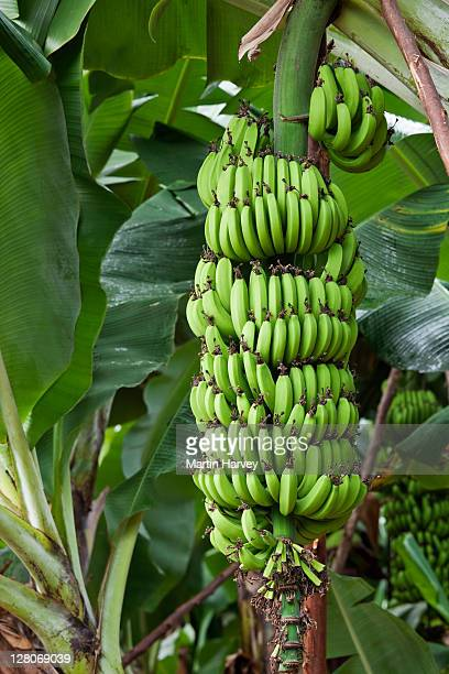 Close up of banana tree with bunch of green fruit