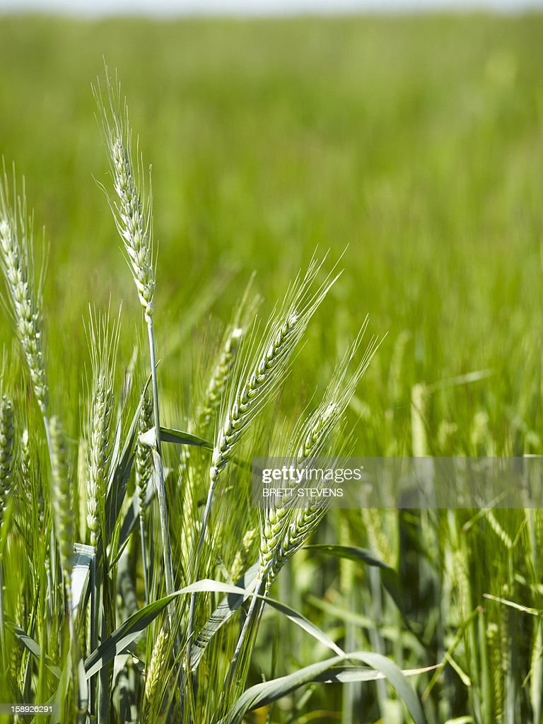 Close up of barley stalks in field : Stock Photo