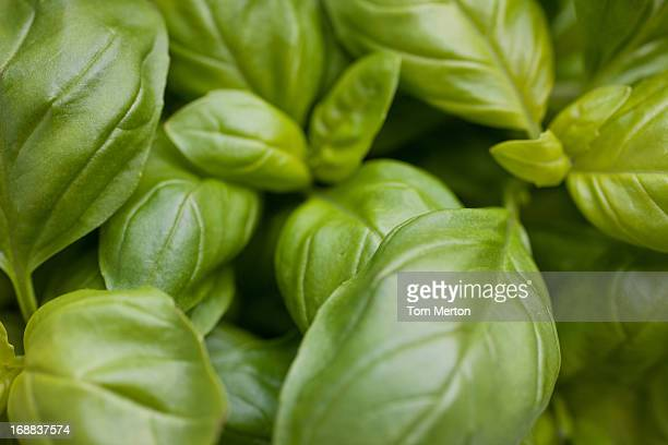 Close up of basil
