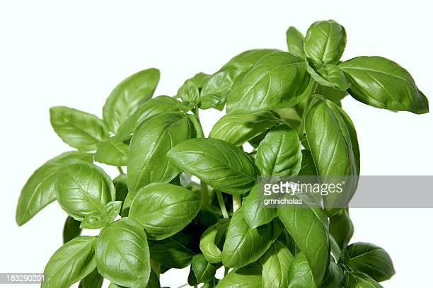 Close up of Basil plant growing