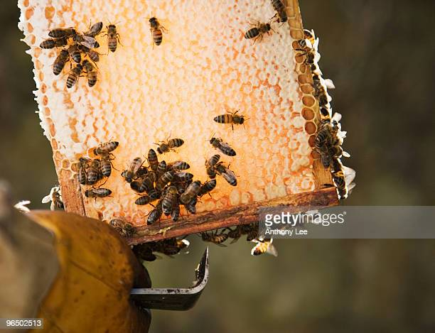 Close up of beekeeper  holding bees and honeycomb