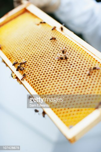 Close up of bees and honeycomb tray : Stock Photo