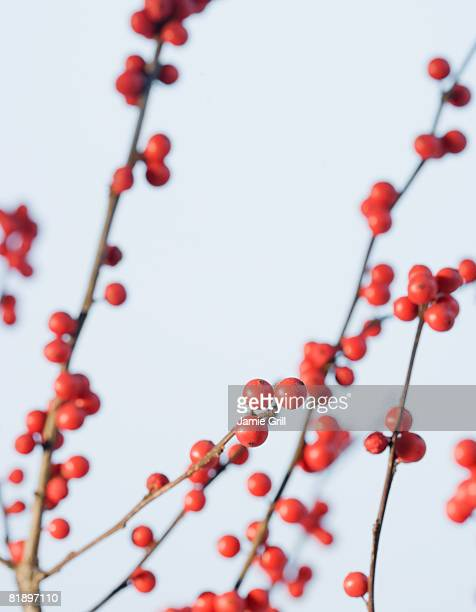 Close up of berries on branches