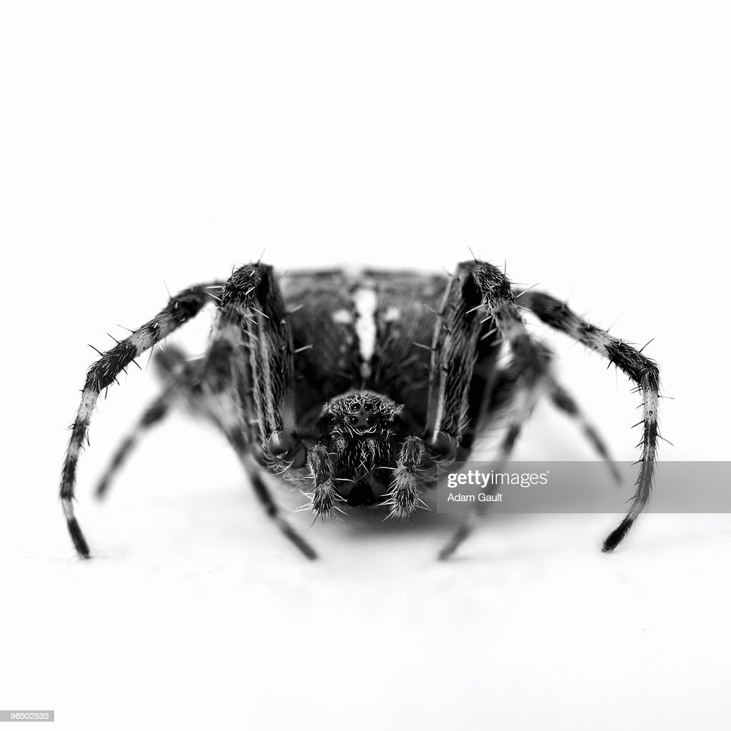 Close up of black and white garden spider : Stock Photo