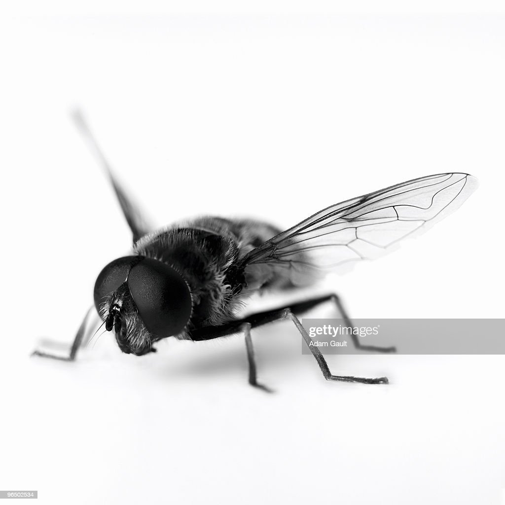 Close up of black and white hoverfly : Stock Photo