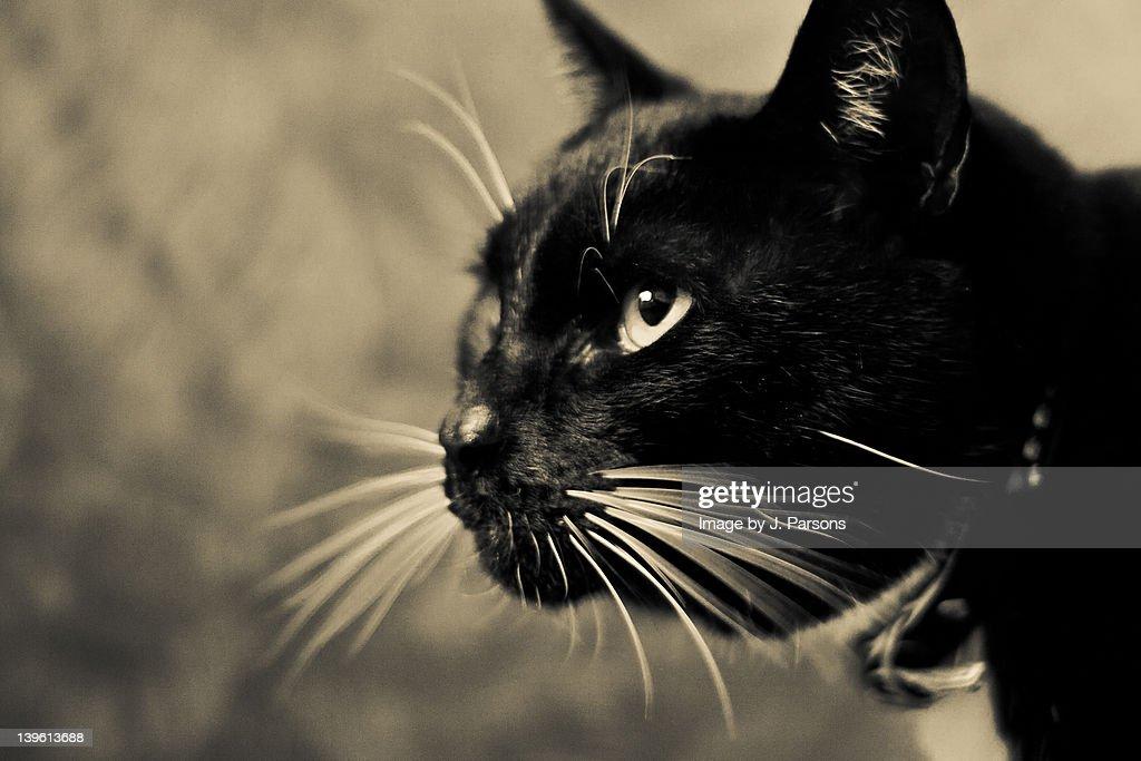 Close up of black cat : Stock Photo