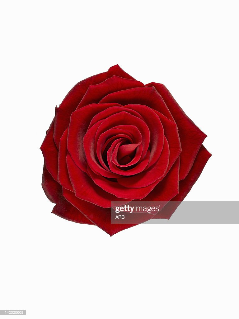 Close up of blooming red rose : Stock Photo