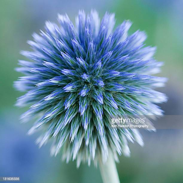 Close up of blue globe thistle