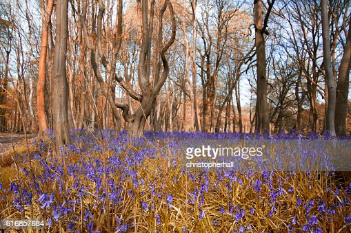 Close up of bluebells in a meadow : Stock Photo