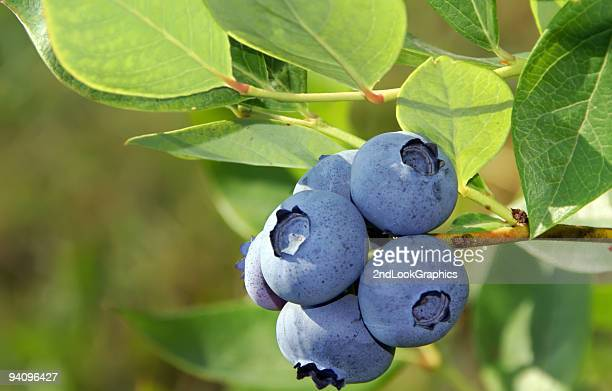 Close up of blueberries on bush