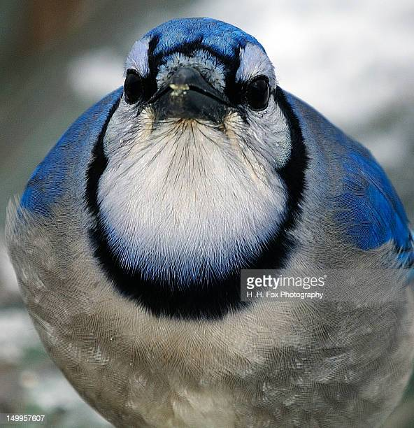 Close up of Bluejay Face