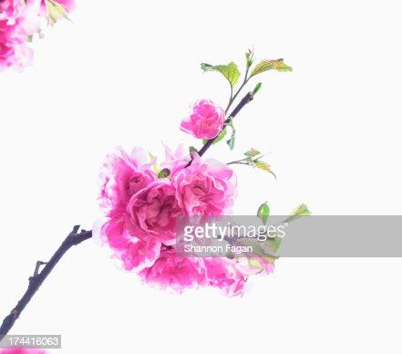 Close Up of Brightly Color Cherry Blossoms : Foto de stock