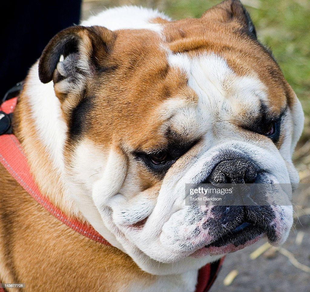 Close up of British Bulldog : Stock Photo