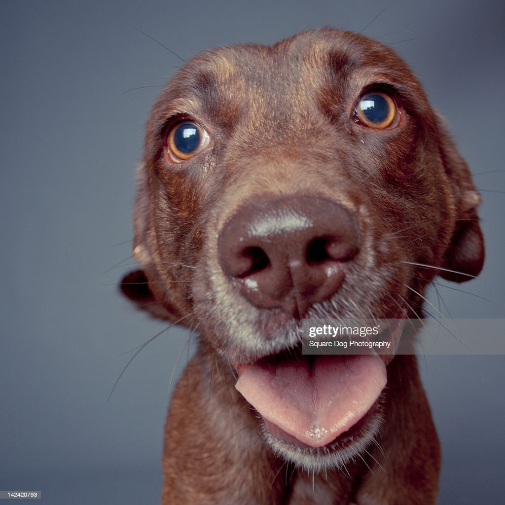Close up of brown dog : Stock Photo