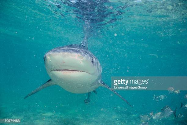 Close up of Bull Shark Carcharhinus Leucas swimming underwater towards camera