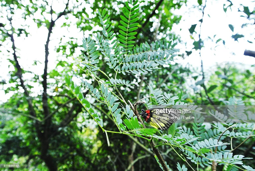 Close up of butterfly on acacia tree