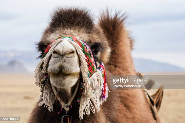 Close up of camel wearing traditional harness