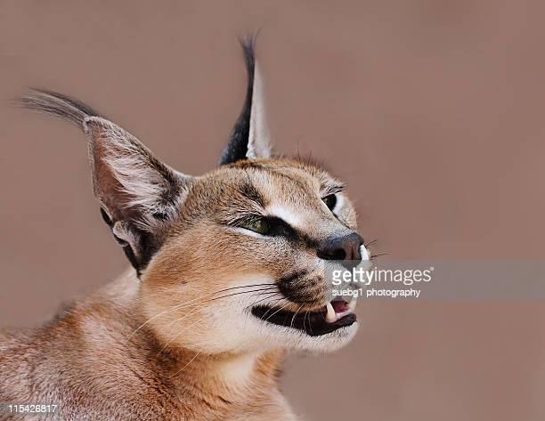 Close up of caracal