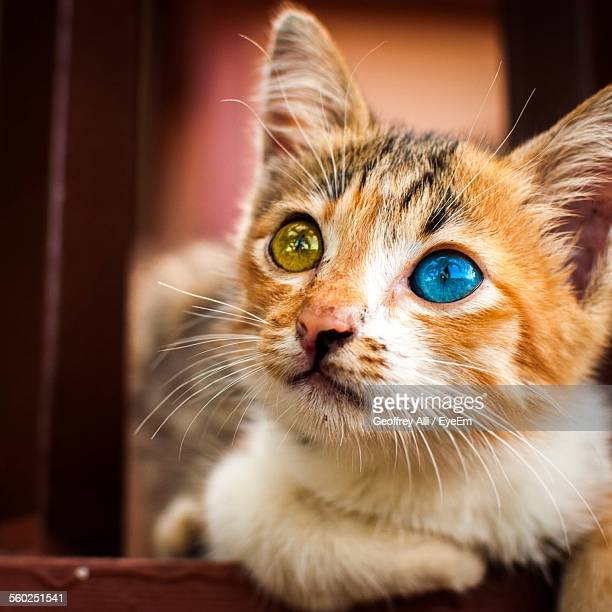 Close Up Of Cat With Different Eyes
