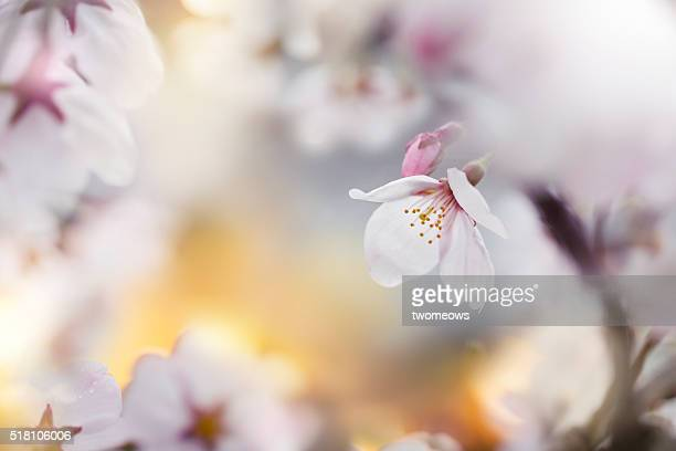 Close up of cherry blossom in spring time.
