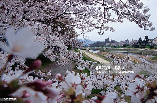 Close Up of Cherry Blossom Tree Branch, River in the Background