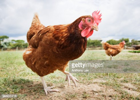 Close up of chicken in field : Stock Photo