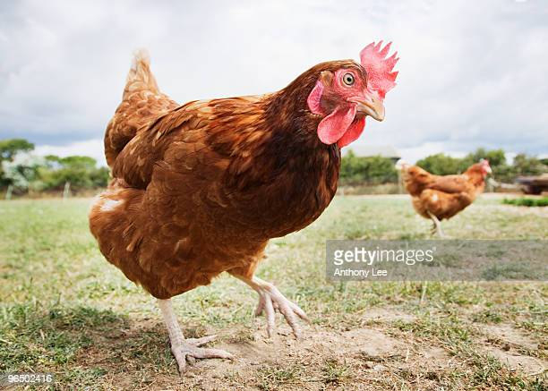 Close up of chicken in field