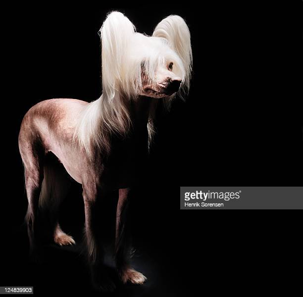 Close up of Chinese Crested