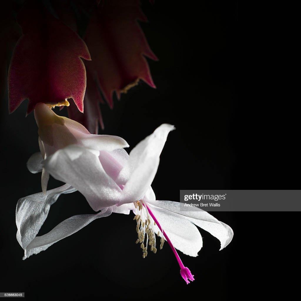 Close up of Christmas cactus flower