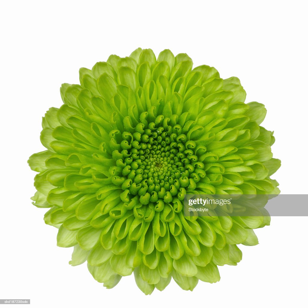 Close up of chrysanthemum : Stock Photo