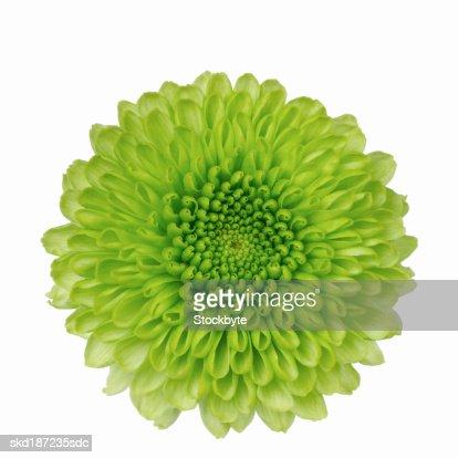 Close up of chrysanthemum : Foto de stock
