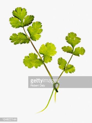 Close up of cilantro leaves