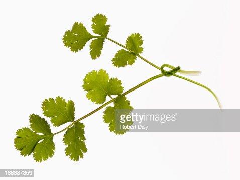 Close up of cilantro sprigs