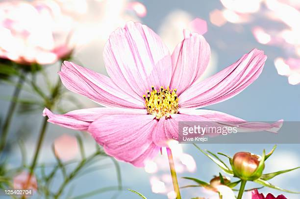Close up of Cosmos bipinnatus