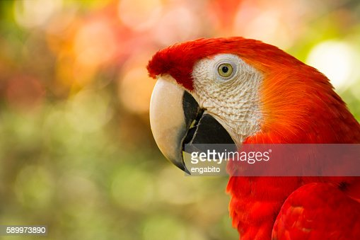 close up of costa rican scarlet macaw : Stock Photo