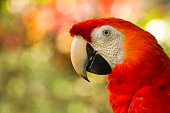 close up of costa rican scarlet macaw / ara macao with bokeh background