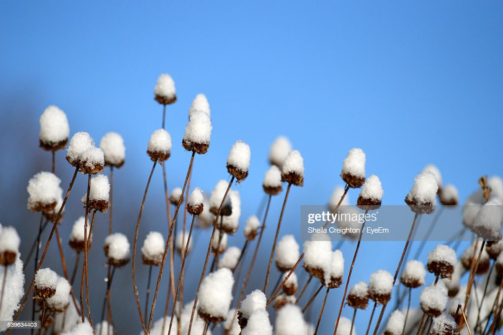 Close Up Of Cotton Plants