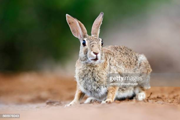 Close up of cottontail rabbit crouching on ground