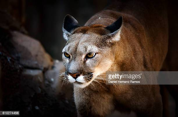Close up of Cougar headshot face to face with black bacground. Puma concolor