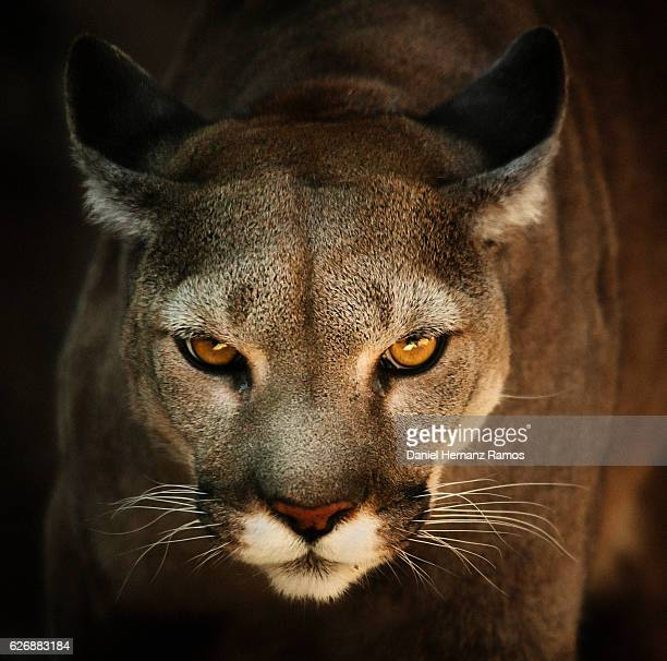 Close up of Cougar headshot face to face with black background. Puma concolor