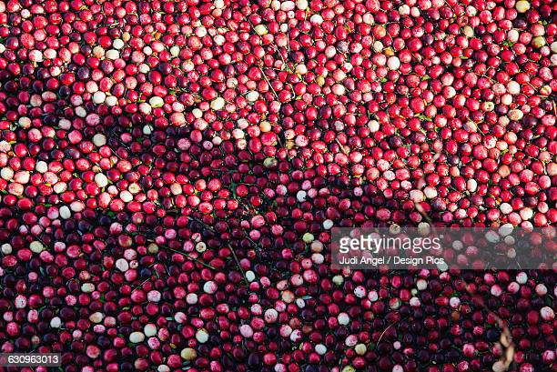 Close up of cranberries floating ready to be harvested