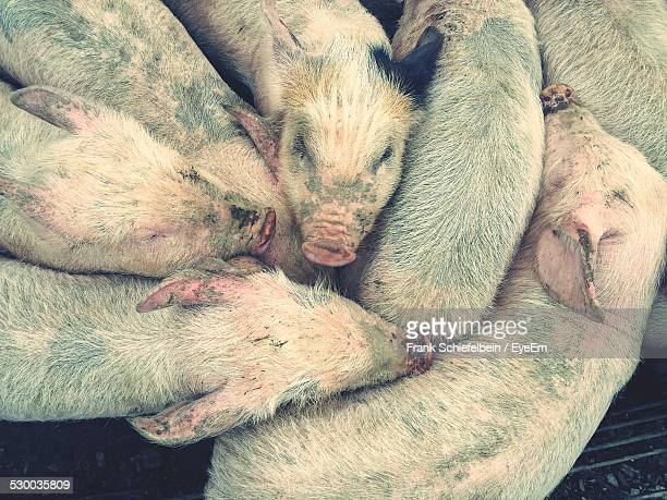 Close Up Of Crowded Pigs