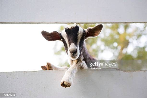 Close up of curious goat between fences