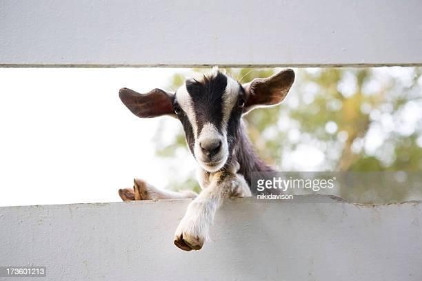 Chèvre curieuse